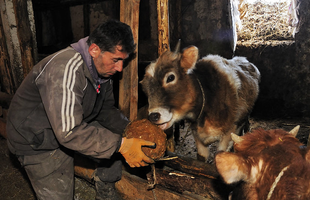 A man feeds a salt lick to two young cows in a barn.