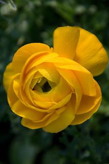 Spring Yellow Begonia