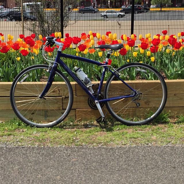 Tulips even along the Metropolitan Branch Trail #bikedc