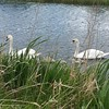 Swan family swimming serenely on Sunday