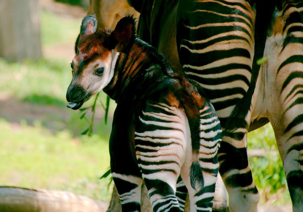 Okapi (Okapia johnstoni)_14