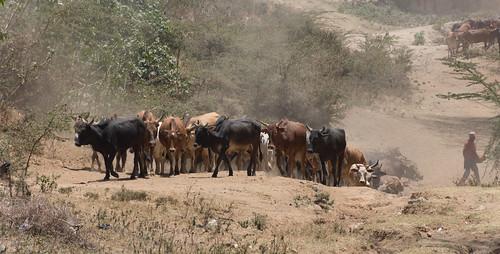 africa eastafrica kenya cattle cow earrings masaimara nakurucounty ke