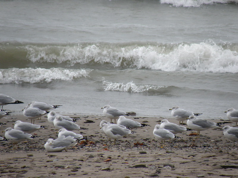 Bradstreet's Gulls by Penny O'Connor