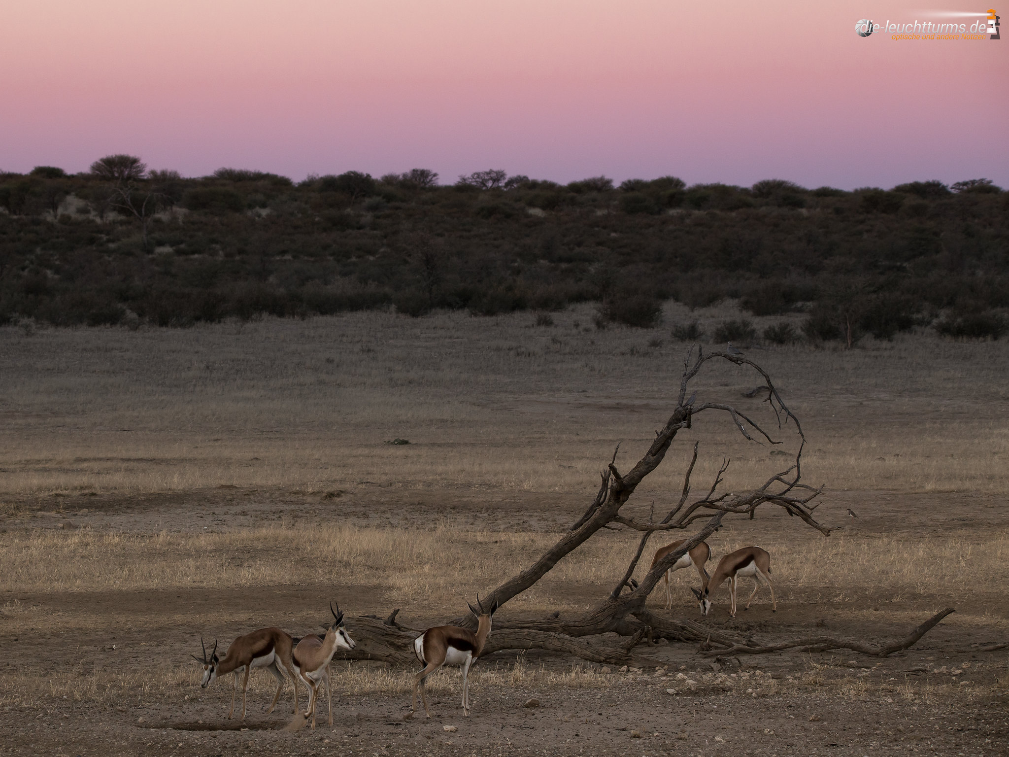 Springboks in evening twilight
