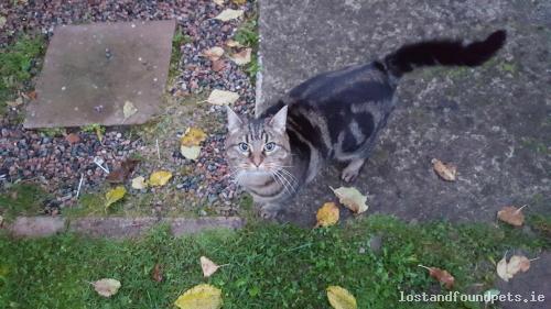 foundcatthegrovekildare found cat grove kildare october 2016