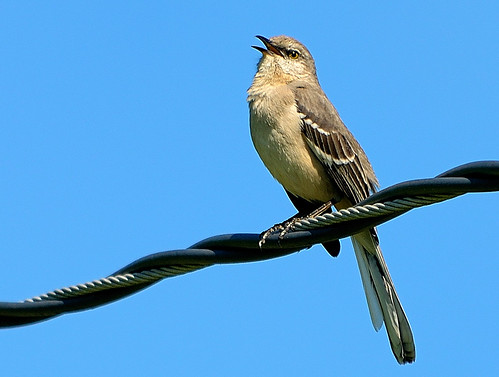 Mockingbird Singing 2012-04-06