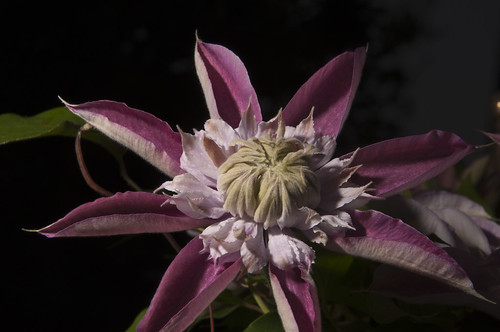 Day 104 - Purple Clematis