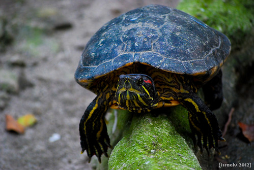 """Sammy the Turtle"" - Benjamin Arthur's Daily Photography Genre Challenge - Entry - Thursday's NATURE Challenge by {israelv}"
