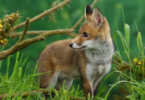 無料写真素材, 動物 , 狐・キツネ