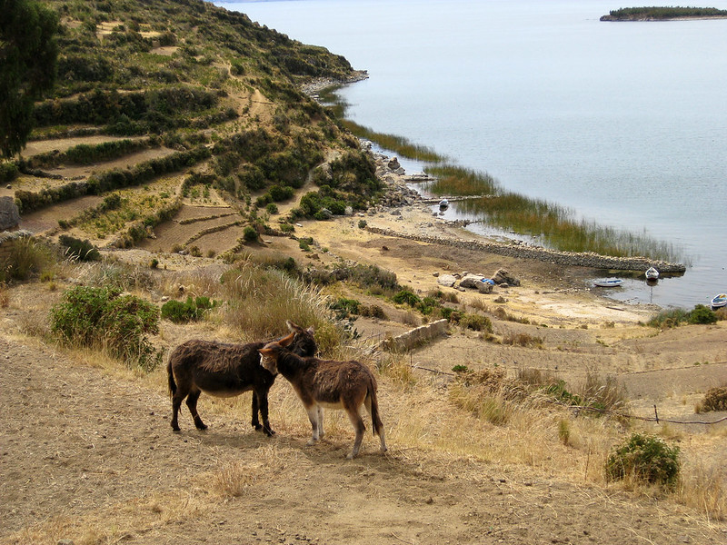 Donkeys on Isla Del Sol - Lake Titicaca - Bolivia