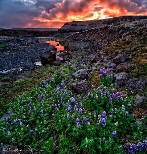 Iceland highland lupines