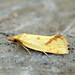 Small photo of [0937] Agapeta hamana