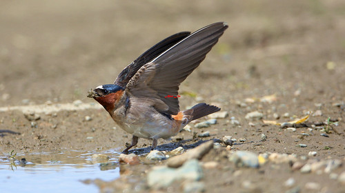 Cliff Swallows(Red-throated) 崖燕(岩燕) 6Z2K4188-1
