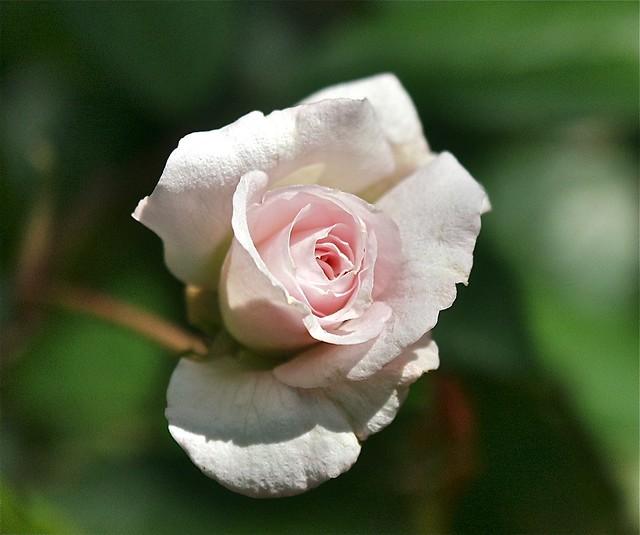 Lil' rose