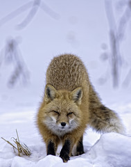 Red Fox in Snow-7604-1