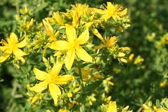 prairie, shrub, flower, yellow, plant, hypericaceae, subshrub, wildflower, flora, produce, hypericum,