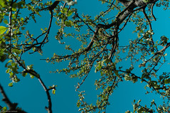 Apple tree - Skansen
