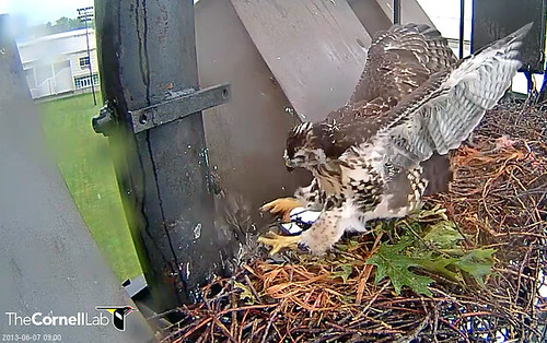 Last Red-tailed Hawk nestling pounces on juvenile starling