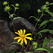 Harsh Sunflower - Photo (c) Fritz Flohr Reynolds, some rights reserved (CC BY-NC)
