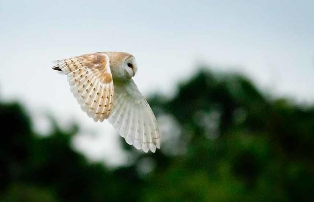 Barn Owl, Wood Walton Fen