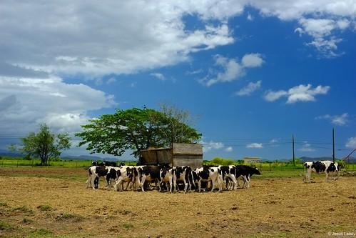 nature animals cow cows puertorico caribbean bovine vaca vacas uprm lajas centrodeinvestigacion centrodeinvestigacionagricola
