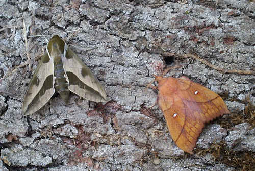 Spurge Hawk-moth (Hyles euphorbiae) and Plum Lappet (Odonestis pruni)