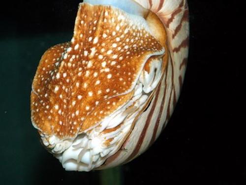 06、鸚鵡螺具有背腕特化的肉質的口蓋,能將殼口牢牢封住。圖片作者:李坤瑄。