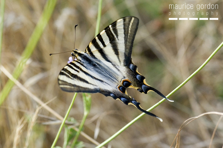 scarce swallowtail-ceret_DSC4674