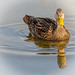 Mottled Duck ( Female ) by billkominsky 