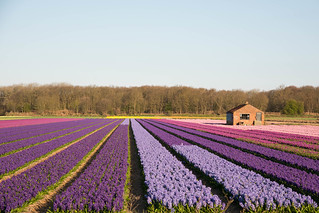 Dutch Hyacinth fields in the morning light, So beautiful in this time of year