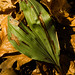 Small photo of Adam and Eve Orchid (Aplectrum hyemale)