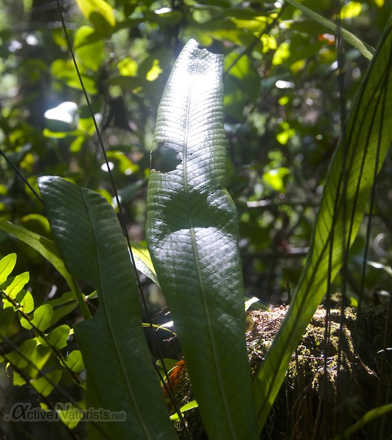 fern 0001 Gator Hook Trail, Big Cypress National Preserve, Florida, USA