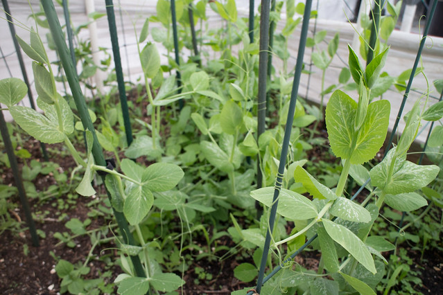 Garden May 15 2015_19