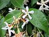 Star jasmine by Needleloca