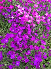 annual plant, flower, plant, herb, wildflower, aubrieta, meadow, groundcover,
