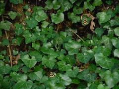 Οι πρώτες πεταλούδες Panaxia Quadripunctaria το φετινό καλοκαίρι στη Ψίνθο