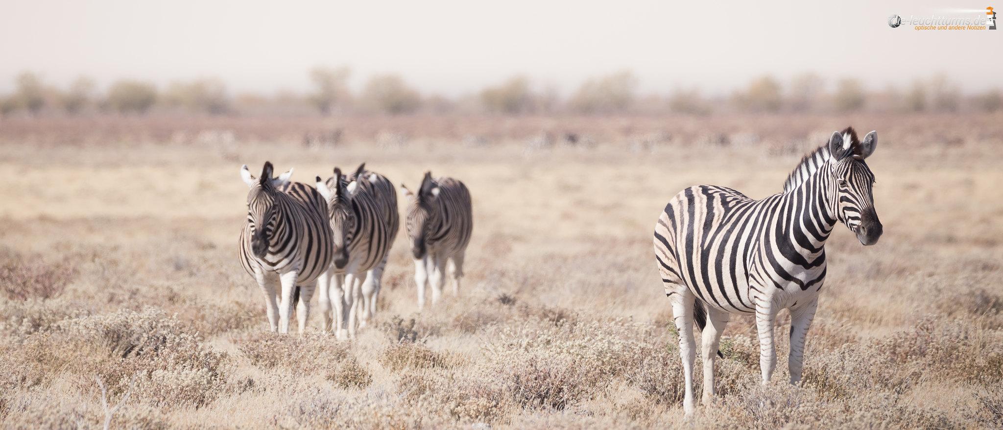 Plains zebras (Equus quagga)