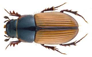 Esymus merdarius (Fabricius, 1775) Syn.: Aphodius (Esymus) merdarius (Fabricius, 1775)
