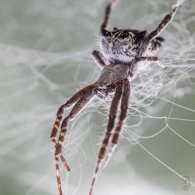 Tropical Tent-Web Spider (Cyrtophora citricola)-6238