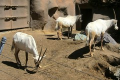 IMG_3649: Oryx