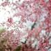 Blossom Bokehdose by Kai Man Wong
