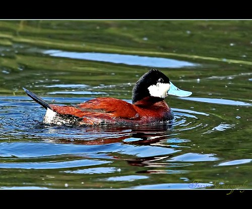 Ruddy Duck by Enjoy the journey..not the Destination.Catching Up