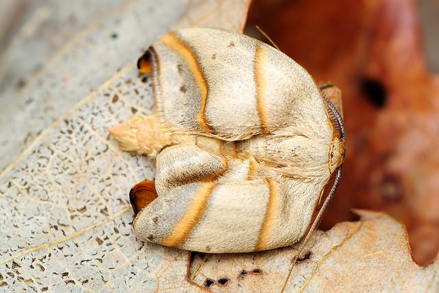 Nordstromia japonica