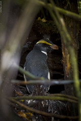 Fiordland Crested Penguin (Eudyptes pachyrhynchus), also known as Tawaki Whenua Hou Codfish Island New Zealand_MG_7875