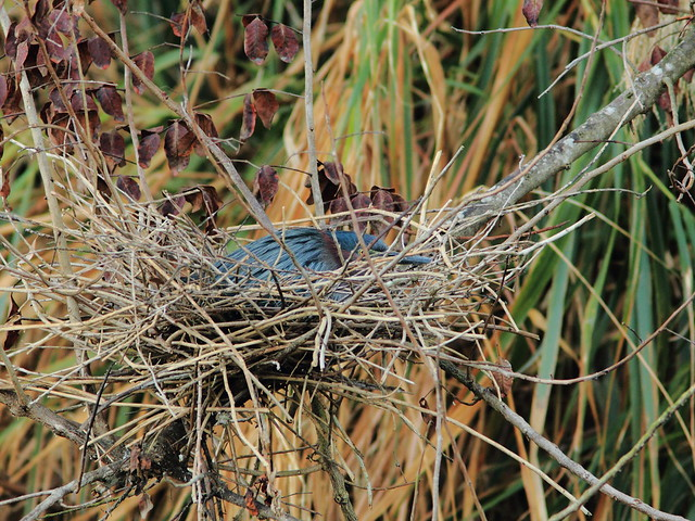 Green Heron nest 4 HT 20120404