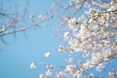 サクラの木の美しさに惹かれて考えたコト