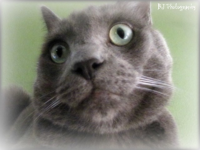 Russian Blue Mix   Flickr - Photo Sharing!