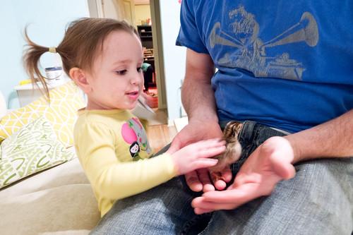 baby guinea fowl