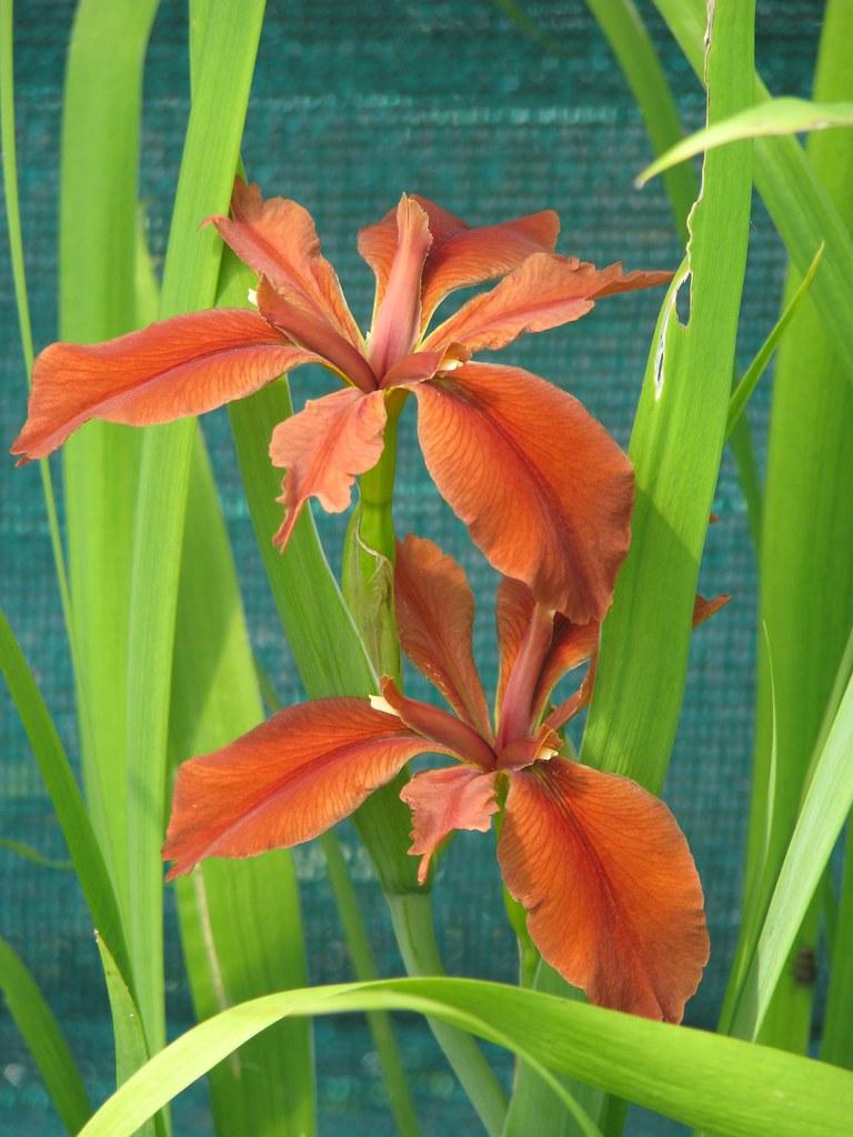 Iris fulva