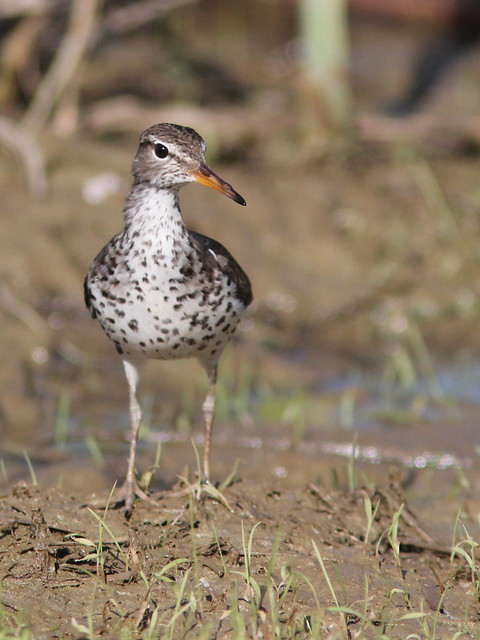 Spotted Sandpiper 3-20120515